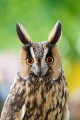 Waldohreule, Asio otus, Porträt dieses Eulen Vogels