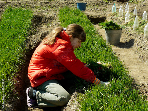 girl thins out green manure for sowing seeds
