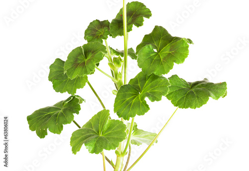 Leaves of a geranium  (Pelargonium x hortorum)