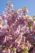 Prunus x / Prunus 'Kanzan'