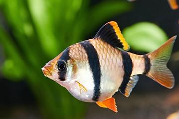 Aquarium fish. Barbus puntius tetrazona