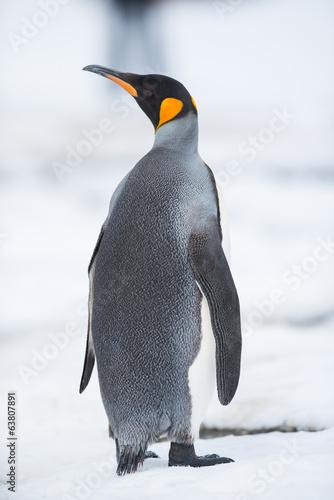 Foto op Canvas Poolcirkel King penguin, South Georgia, Antarctica