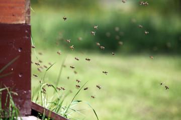 Honigbienen bei der Arbeit