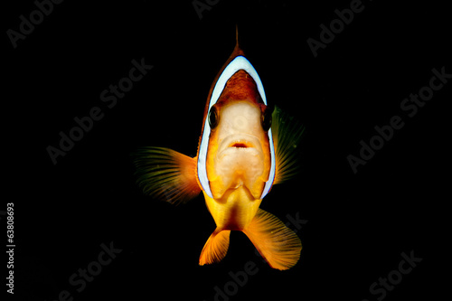 Clown fish while looking at you on the black background