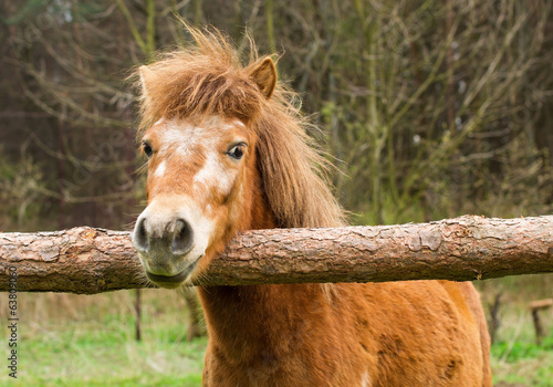 Cute red pony laid its head on the raw wooden fence