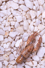 European crayfish - Astacus astacus