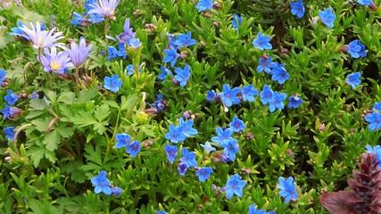 blauer Steinsame
