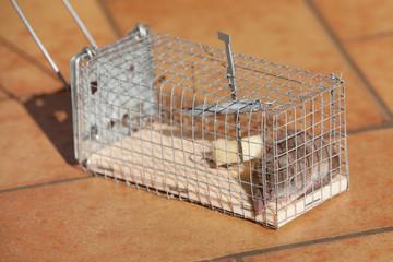 souris musaraigne piégée
