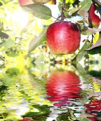 Apfelbaum im Obstgarten