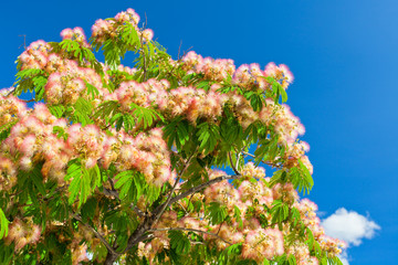 Pink Blossom Acacia Tree Brunches
