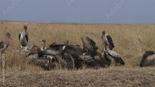 vultures figting while they  feed