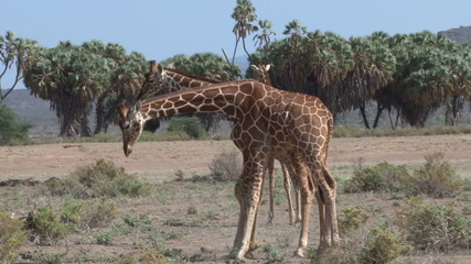 reticulated giraffes fighting
