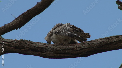 Juvenile martial eagle cleaning beak after eating