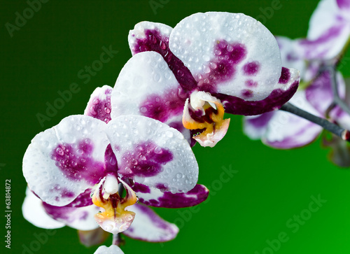 orchid on  green background
