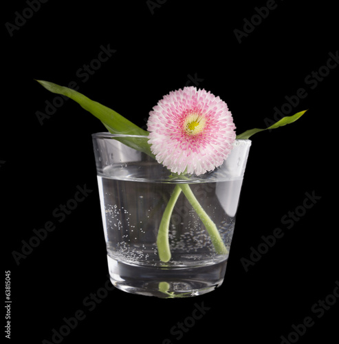 Pink daisy in glass of water, isolated on black background