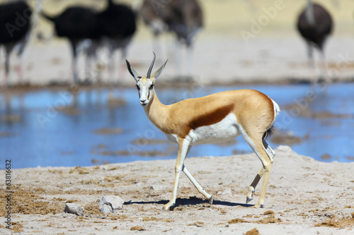 Springbok with one horn at the waterhole