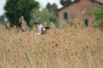 falco di palude uccello rapace