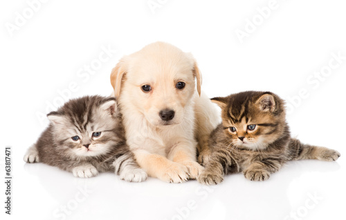 purebred puppy dog and two british kittens lying in front.