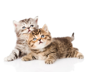 two british kittens looking up. isolated on white background