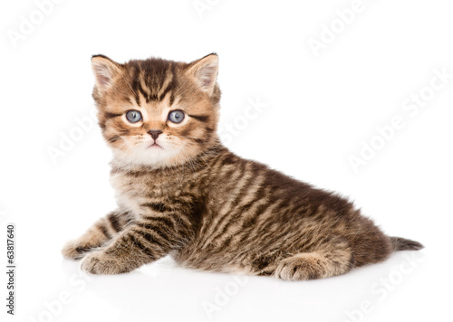 baby british tabby kitten looking at camera. isolated on white