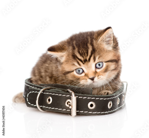 sad british tabby kitten with collar. isolated on white