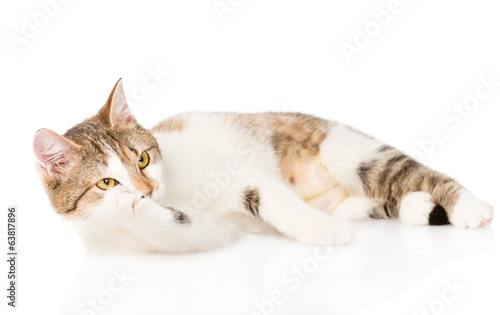 cat washing itself. isolated on white background