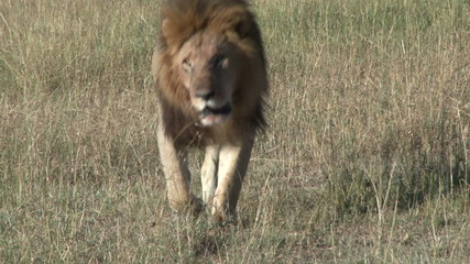 A big lion walks towards the camera