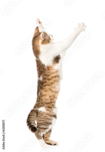 playful cat. isolated on white background
