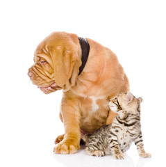 Bordeaux puppy dog and bengal kitten looking away. isolated
