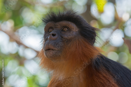 Portrait of a Western Red Colobus Monkey looking up