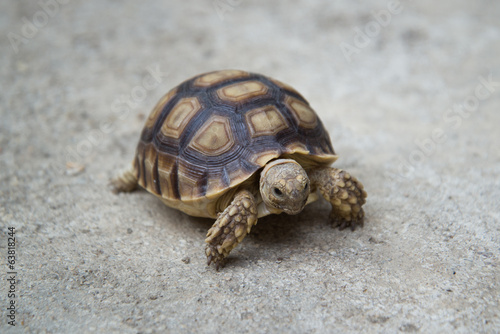 african spurred sulcata