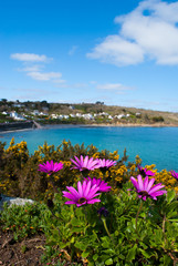 African Daisies with a view of Coverack