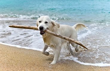 labrador retriever dog playing on the beach