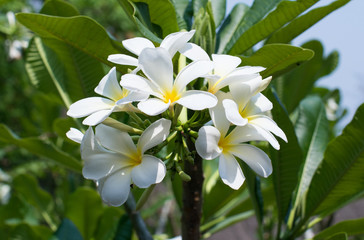 Close up of plumeria blossom