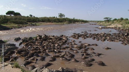 Very many dead wildebeests from crossing a swollen river