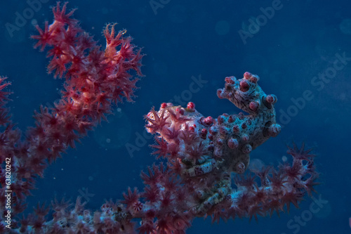 Bargibanti Pigmy Sea Horse the smallest in the world in Papua