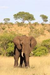 elefante africano nella savana