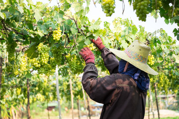 picks green grapes