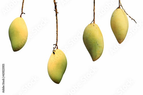 Ripe Yellow mangoes with hanging twig isolated