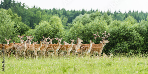 Herd of fallow deer in forest glade