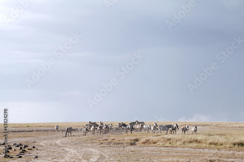 Zebras near a water hole in Ol Pejeta Conservancy, Kenya