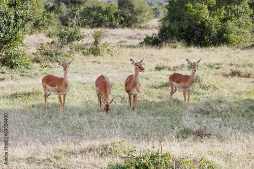 Beautiful Impalas grazing in the savannah grassland, Kenya