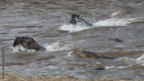Many crocodiles hunting wildebeests crossing a river