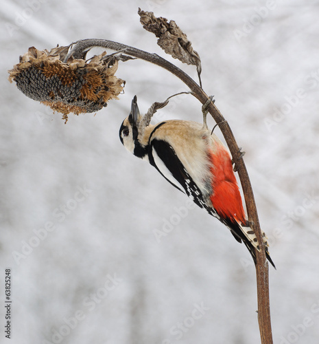 Дятел большой пестрый, Great spotted woodpecker
