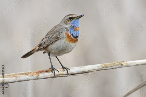 Варакушка, Bluethroat