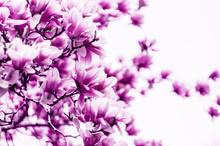 Kwiat kwiat magnolii