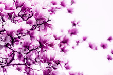Fleur de magnolia fleur