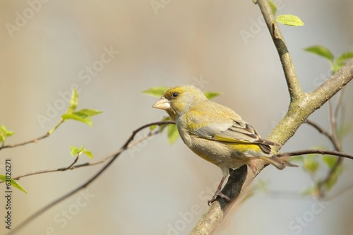 Female Greenfinch (Carduelis chloris) on a branch