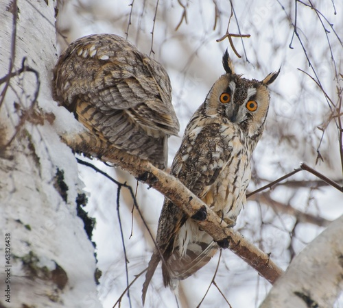 Ушастые совы, Long-eared owl