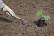 Agriculture farmer planting cucumber seedling to ground, field